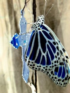 butterflies.quenalbertini: Blue, white and black polka dot butterfly