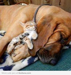 Sweet Bloodhound
