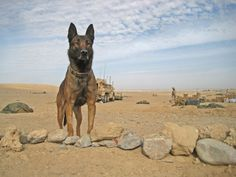 Military working dog Lex L479  his handler, Marine Sgt. Mark Vierig, slept in foxholes on patrol in Afghanistan during the cold, wet winter.After Vierig fell asleep, Belgian Malinois would crawl out from their tarp-protected foxhole stand guard over him through the night - often in torrential rains. The dog stood, head erect, large triangular ears at attention focused for sounds, eyes peering for sign of intrusion. Click on to go to site.