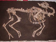 Complete camel skeleton unearthed in Austria during a rescue excavation...