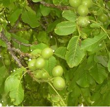 Companions for English Walnut. Good info for making a plant guild centered around walnut trees.