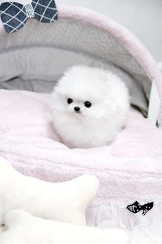 Link to a website that sells some of the tiniest puppies in the world! This is a Micro Teacup Pomeranian Dog Baby Animals Super Cute, Cute Baby Dogs, Cute Little Puppies, Cute Dogs And Puppies, Cute Little Animals, Cute Funny Animals, Cutest Dogs, Funny Dogs, Doggies