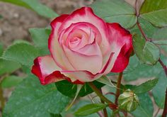 Double delight Knockout Roses all Colors | Double delight tea rose, all tea roses mean 'I'll always remember ...