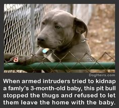 funny pitbull pictures with captions | Read more about this heroic pit bull here: http://www.dogheirs.com ...