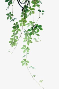 Drawing Plant Leaves, Plant Clipart, Illustration, Hand Painted PNG Transparent Image and Clipart fo Art Floral, Watercolor Flowers, Watercolor Paintings, Green Watercolor, Watercolours, Foto Nature, Nature Nature, Plant Drawing, Plant Painting