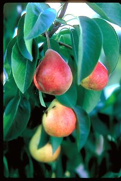 Click to view full-size photo of Summercrisp Pear (Pyrus 'Summercrisp') at The Mustard Seed