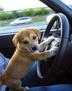 #perro #dog #cachorro #puppy #manejando #driving #auto #car #perroalmando…