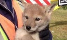 Ridiculously Cute Coyote Pups Rescued From Storm Drain
