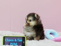 Cute micro Pom - I love him!!