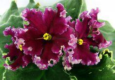 African-Violet-RS-RAMSES-plug-plant