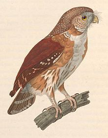 The East Brazilian pygmy owl (Glaucidium minutissimum), also known as least pygmy-owl or Sick's pygmy-owl, is a small owl in the typical owl family. It has been argued that the here used scientific name actually belongs to the Pernambuco pygmy owl, in which case the East Brazilian pygmy owl should be referred to G. sicki (König & Weick, 2005). This has not gained widespread recognition.It is found in eastern Brazil and far eastern Paraguay. It inhabits tropical moist evergreen forests and…