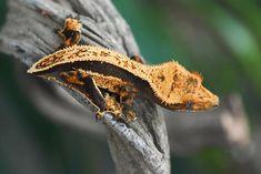 Quad Stripe Crested Gecko For Sale Crested Gecko, Geckos, Quad, Animals, Animales, Animaux, Animal, Animais, Quad Bike