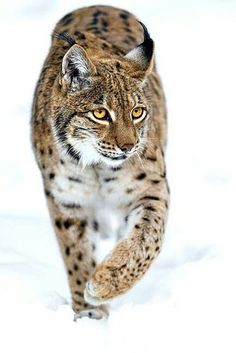 """thacrazyanimal: """"beautiful-wildlife: """"Lynx walking on the snow by Tambako The Jaguar """" Respect tha crazy animal! Serval, Caracal, Big Cats, Cool Cats, Cats And Kittens, Siamese Cats, Nature Animals, Animals And Pets, Cute Animals"""