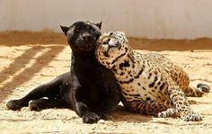 Panther Jaguar black and spotted in love Animals And Pets, Baby Animals, Cute Animals, Beautiful Cats, Animals Beautiful, Unlikely Animal Friends, Gato Grande, Black Panthers, Black Jaguar