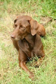 My Chocolate lab and Chesapeake bay retriever mix, Koko...oh this looks like our dog;0)
