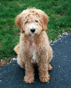 A Goldendoodle! Love him!!