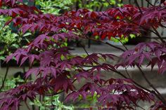 Acer Palmatum 'Bloodgood' is a hardy upright variety with deep purple red leaves that become red in the fall Japanese Maple Varieties, Bloodgood Japanese Maple, Cottage Garden Plants, Acer Palmatum, Red Leaves, Rare Plants, Small Farm, Outdoor Plants, Simple Pleasures