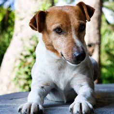 Jack Russell Terrier...he looks so much like my Russell!
