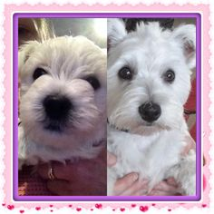 Daisy baby and Daisy at 4mths and after first grooming