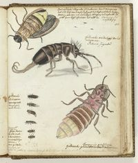 East Indian and Guelders glowworms Jan Brandes 1770 - 1787 Still Picture, Insect Art, Nature Journal, Nature Prints, Zoology, My Animal, Natural History, Vintage Prints, Drawings