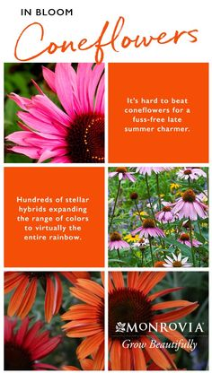 Composting Hacks It's hard to beat coneflowers for a fuss-free late summer charmer. Check out a few we recommend for their distinct colors and appeal to summer and late-season pollinators. Outdoor Plants, Outdoor Gardens, Garden Beds, Garden Plants, Organic Gardening, Gardening Tips, Hummingbird Garden, Dream Garden, Planting Flowers