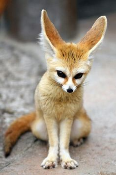 "The Fennec Fox (Vulpes zerda) is a small nocturnal fox found in Sahara Desert of North Africa. Its most distinctive feature is unusually large ears. The name ""Fennec"" comes from the Arabic word for fox (fanak). Nature Animals, Animals And Pets, Wild Animals, Desert Animals, Rainforest Animals, Cute Baby Animals, Funny Animals, Fuchs Baby, Cute Kittens"
