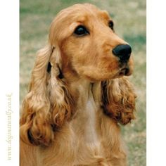 Cocker Spaniel (Gold)