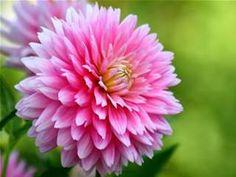 chrysanthemum flower - Bing Images