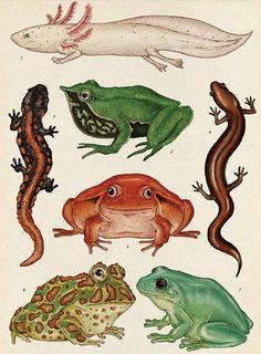 Amphibians || Amphibians Text © Jenny Broom 2014 Images © Katie Scott 2014 Publisher: Big Picture Press