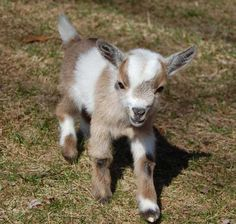 which is smaller pygmy or nigerian dwarf goats - Google Search