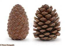 """"""" The connection/relationship between the pineal gland and the pine cone is not just that they resemble each other. The pine cone also reacts to light levels. They open up when it's sunny, and close up when it's overcast. It all deals with the seeds contained within the cone. Sunny days are better for spreading the seed."""" http://musingsfrommarsh.blogspot.com/2011/01/examining-pistillate-strobilus.html?m=1"""