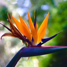 oiseau de paradis strelitzia fleur plante entretien culture oiseau de paradis. Black Bedroom Furniture Sets. Home Design Ideas