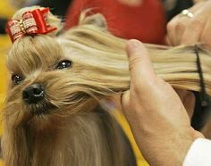 How to groom a yorkie at home? Everything you need to know about Yorkshire terrier Grooming. Grooming Yorkies, Dog Grooming Tips, Yorkie Puppy, Chihuahua, Yorkshire Terrier Haircut, Yorkshire Terrier Puppies, Yorkie Hairstyles, Westminster Dog Show, Dog Haircuts
