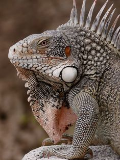 Beautiful Creatures, Animals Beautiful, Cute Animals, Animal 2, Mundo Animal, Reptiles Et Amphibiens, Terrarium Reptile, Magnificent Beasts, Green Iguana