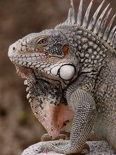 Les Reptiles, Reptiles And Amphibians, Mammals, Beautiful Creatures, Animals Beautiful, Cute Animals, Terrarium Reptile, Magnificent Beasts, Green Iguana