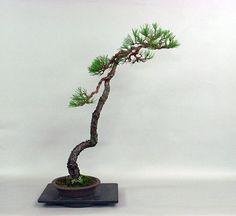 流れ。の画像 | 長楽未央「楽しみの盆栽」