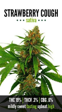 Your complete guide for growing Elite Marijuana indoor! Growing essentials — Lights, Seeds, Clones — everything we know about best cannabis cultivation wiki Medical Cannabis, Cannabis Oil, Cannabis Edibles, Weed Strains, Cannabis Growing, Marijuana Plants, Buy Weed, Natural, Green