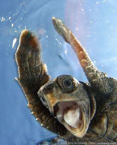 A turtle swimming in the water with its mouth wide open and front flippers up by its head.