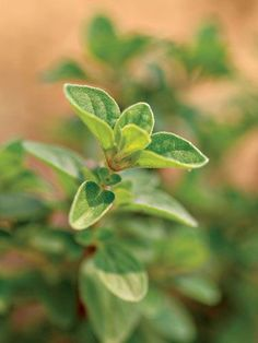 Oregano: rich in caffeic acid, quercitin, and rosmarinic acid all components that combat depression, fatigue, and anxiety