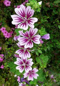 RÖDMALVA 'Zebrina'  Vetenskapligt namn: Malva sylvestris Färg: blekt snäckrosa eller benvita med vackert lilafärgade vener Höjd: 90 cm Blomningstid: tidig vår till sen höst Läge: full sol