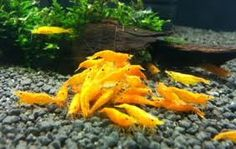 Pumpkin Shrimp:) Fresh water shrimp related to Red Cherry Shrimp Nano Aquarium, Aquarium Design, Saltwater Aquarium, Planted Aquarium, Freshwater Aquarium, Aquarium Fish, Jellyfish Aquarium, Aquarium Ideas, Saltwater Tank
