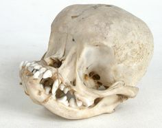~Rather fascinating- pug skull~