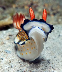 """Nudibranch """"face"""" -- photo by Ned DeLoach -- Anilao, Philippines Colorful Fish, Tropical Fish, Sea Whale, Whale Sharks, Saltwater Tank, Saltwater Aquarium, Freshwater Aquarium, Aquarium Fish, Sea Beans"""