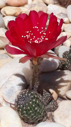Unusual Plants, Exotic Plants, Exotic Flowers, Love Flowers, Beautiful Flowers, Cacti And Succulents, Planting Succulents, Cactus Plants, Blossom Flower