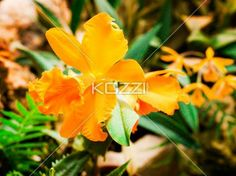A closeup of a cream orange flower with soft, rippled petals in sharp focus with a blurry background. Download the photo without watermark @ www.kozzi.com or you can click the image.