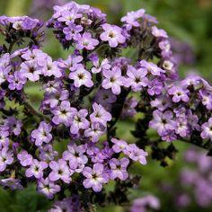 Heliotrope, Heliotropium Arborescens: Spectacular Vanilla Fragrance