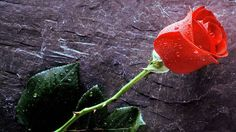Розы хороши, пока свежи шипы.