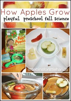 Cut open an apple for a simple preschool apple science lesson. Engage the five senses as you learn about how an apple grows. Perfect Fall science for kids! Preschool Apple Theme, Preschool Science Activities, Apple Activities, Fall Preschool, Kindergarten Science, Preschool Themes, Science For Kids, Science Experiments, Preschool Apples