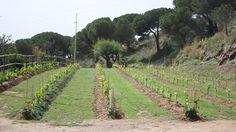 'Existen referencias escritas en las que Plinio el Viejo habla de gran cantidad de viña a su paso por la actual Santa Coloma, camino de Baetulo. No de buena calidad, pero sí la suficiente para darle...