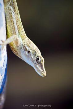 Lézard - Anolis Gingivinus mâle - St-Barth - FWI - © Tony Duarte